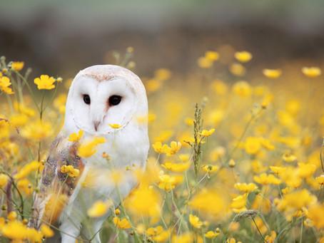 Corpse Bird or Wise Teacher - Owl Folklore