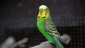Muhabbet kuşu bakımı ve sağlığı