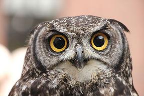 Spotted owl breeding program
