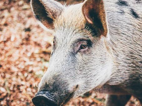 Wild boar capers at Casalone!
