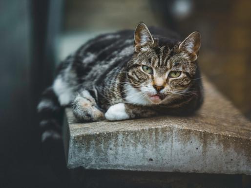 Un chat déclaré positif à la COVID-19 au Royaume-Uni