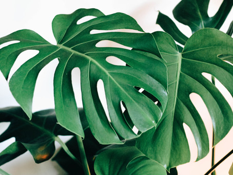 The Great Monstera