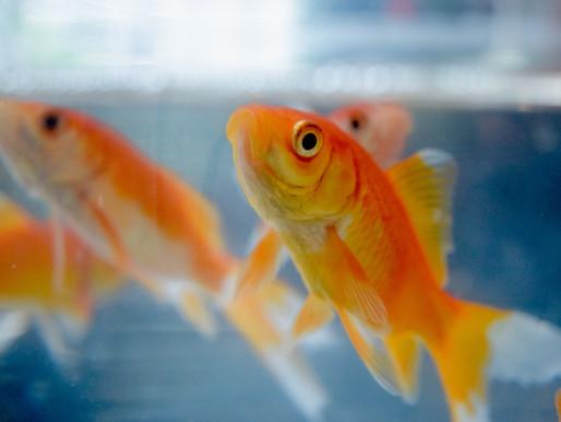 Goldfish: Shape Poem