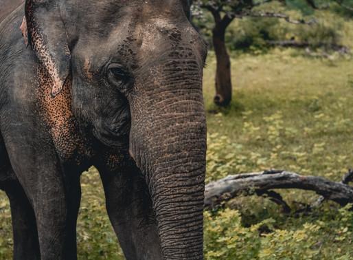 Botswana : Mort de centaines d'éléphants, une « mystérieuse maladie » possiblement en cause