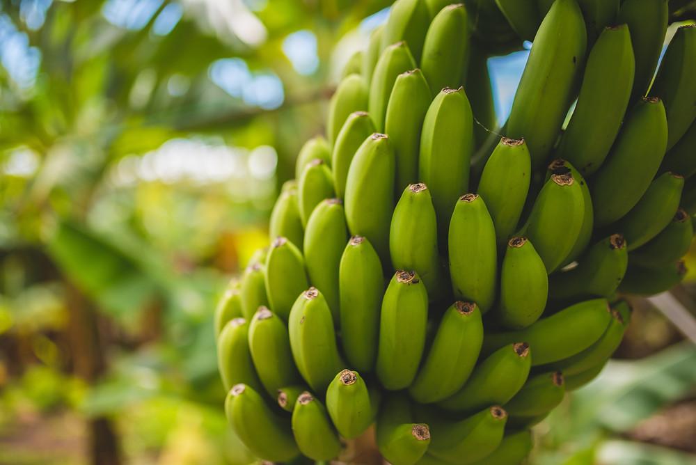 Mini Me: Each Banana is cloned_Sustainable Diva Photo by Mathew Feeney