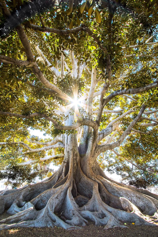 Equilibre et stabilité, 2 qualités intrinsèques que nous retrouvons en cet arbre comme en nous.