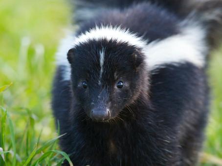 Bekämpfe die Skunk-Invasion