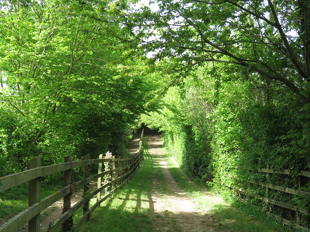 Fenced country lane overhung with trees