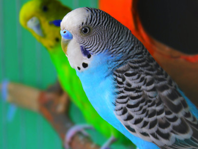 Muhabbet kuşu ve Papağan Bakımında Sık Yapılan Hatalar