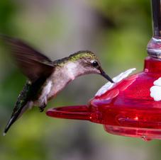 August: Hummingbird