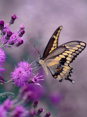 Butterfly on desert flower