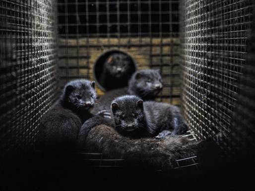 Comment agir pacifiquement contre l'industrie de la fourrure