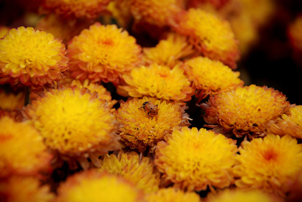 yellow tansy flowers, a lady beetle on one in the centre