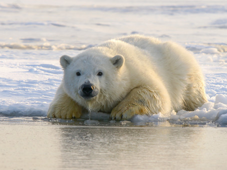 Polar bears and the decline of the Arctic