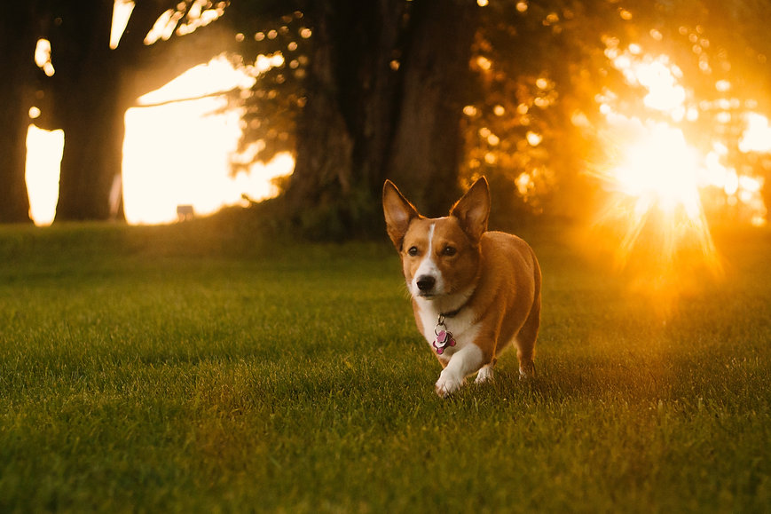Dunbroke Toy Aussies and Pembroke Welsh Corgis - Priceville, Ontario - Dog Breeder - Jacob Van Blarcom Unsplash