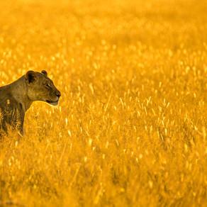 Communication animale : message de la Lionne.
