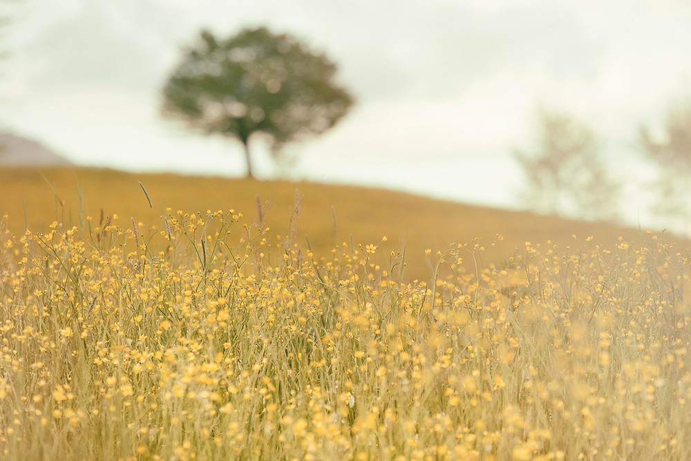 a summer meadow with delicate little yellow flowers and grass, a blurred image of a tree in the background