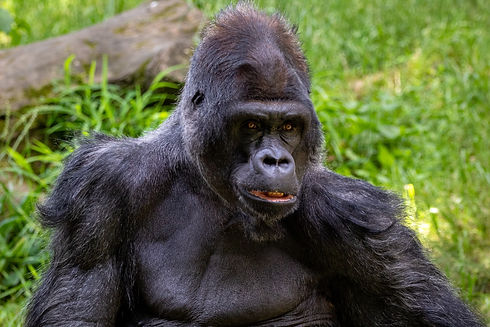 Mountain Gorilla In Grass