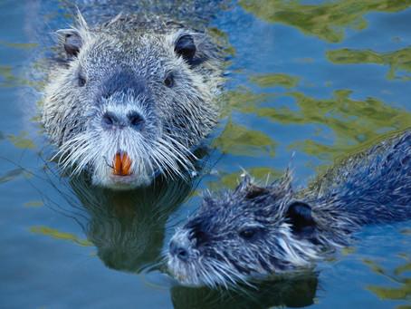 Beavers slow the flow