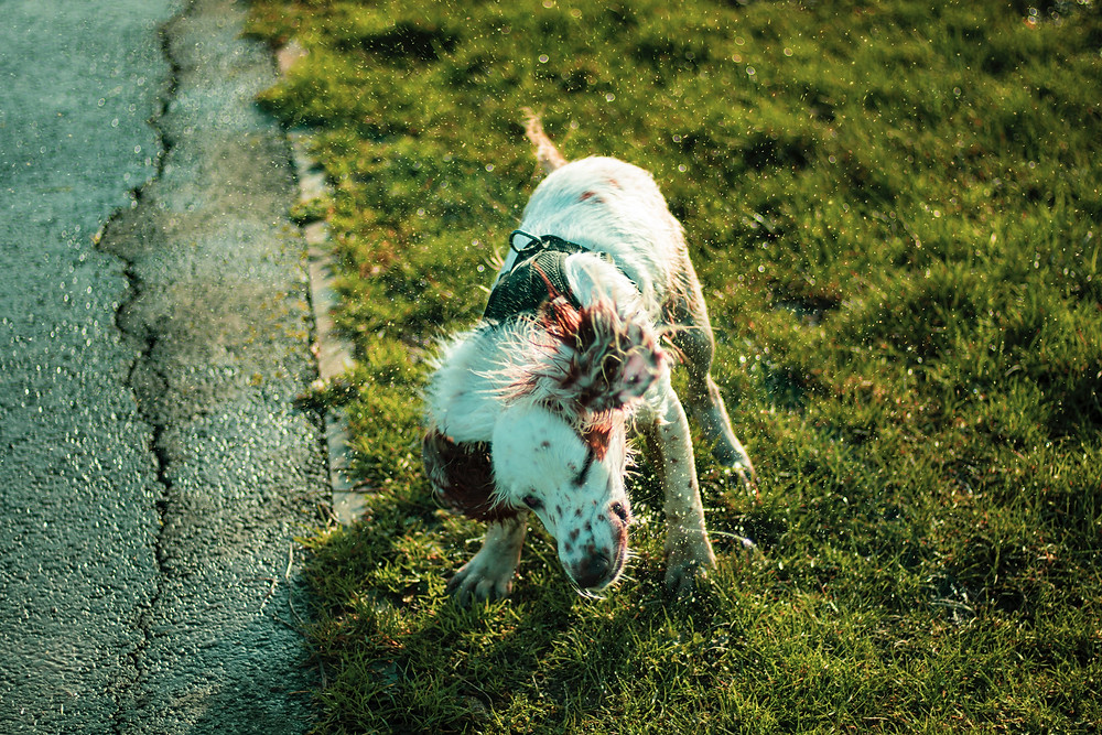 dog shaking water off can be immune to kennel cough