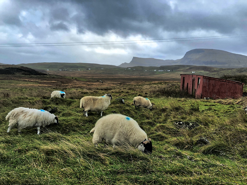 Sheep in foreground with rising hills in backgroud.