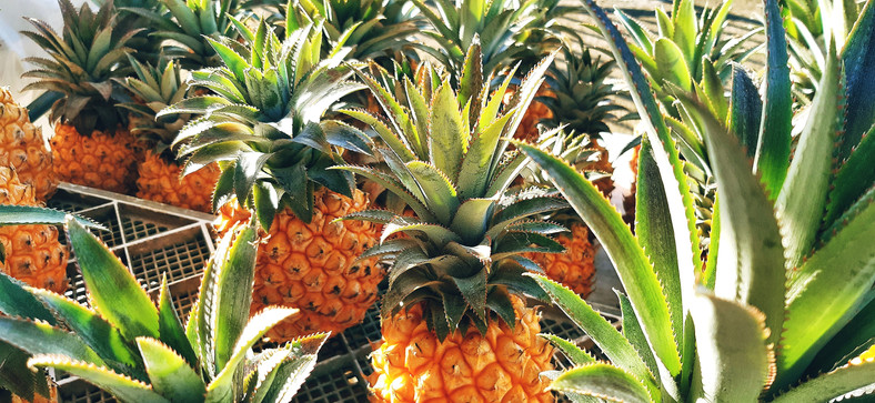 Champ d'ananas