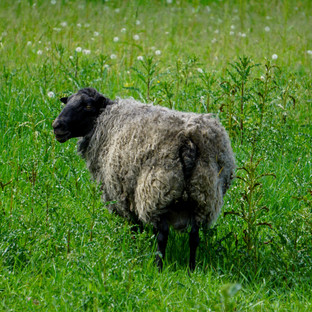 The loved, lost sheep