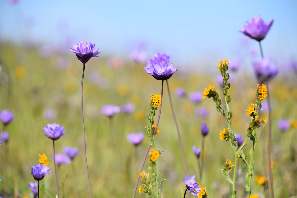 Field of purple and yellow flowers. Flowers in foreground in focus, blurred in distance