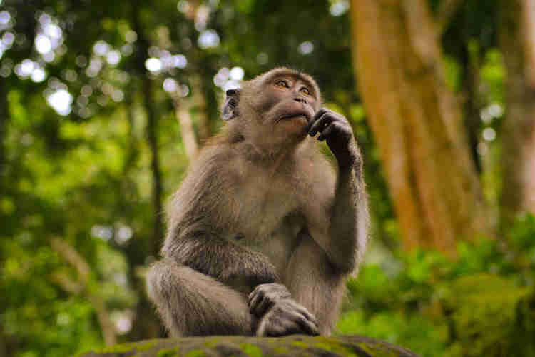 monkey thinking about benefits of crafting