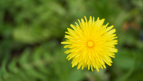 Dandelions: One of the Healthiest Foods on the Planet