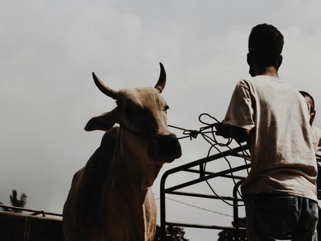 Inilah Hal Yang Perlu Anda Tahu Tentang Ternak Sapi Dan Cara Mengukur Bobot Sapi