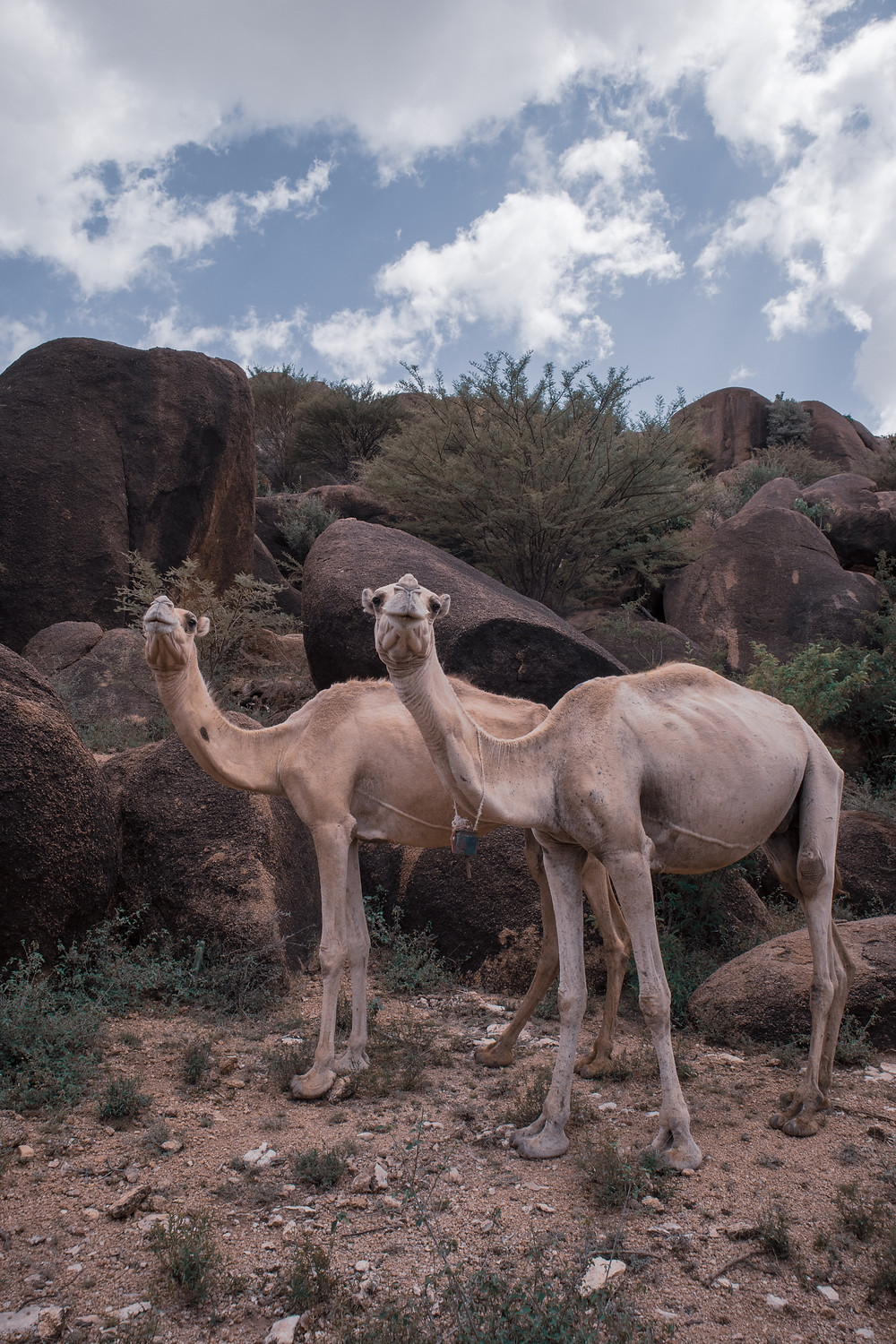 Camels in Somaliland