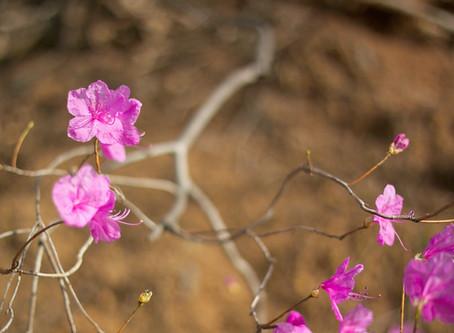 Resurrection Rhododendrun