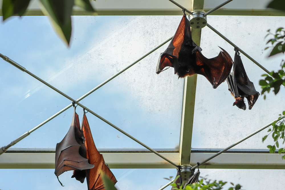 Extinction of large animals allows bats to thrive, linked to covid-19