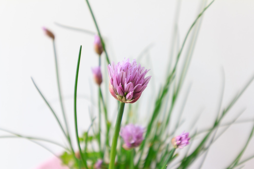 Garlic chives and onion chives