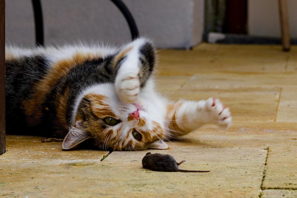 Katze spielt mit gejagter Maus
