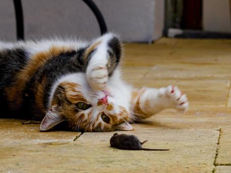 Warum jagen Katzen? Eine neue Studie zeigt 2 Möglichkeiten auf, sie davon abzuhalten