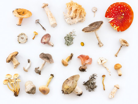 Mushrooms Are Good For You, But Are They Medicine?