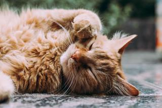 Diabetes bei der Katze homöopathisch behandeln