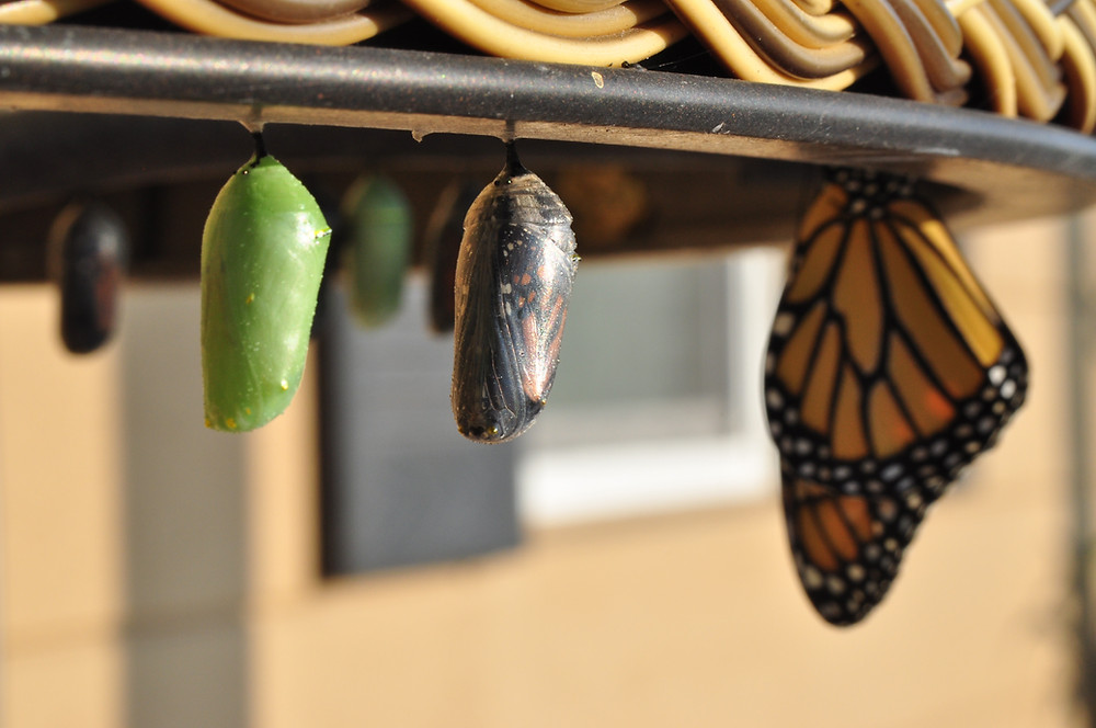Photo of the stages of a monarch butterfly emerging, a symbol of different stages of growth in a business.