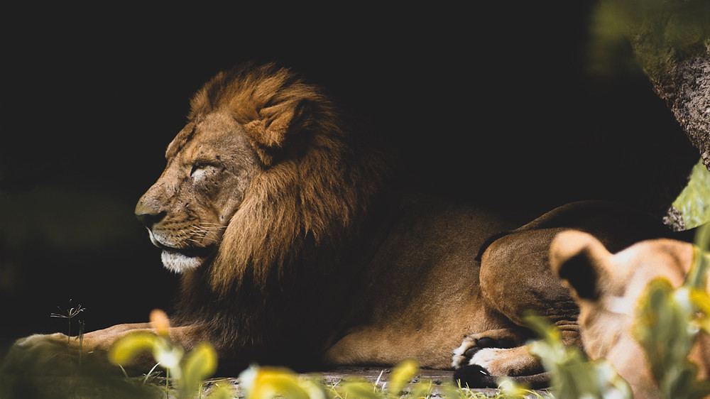 A image of lion laying down.