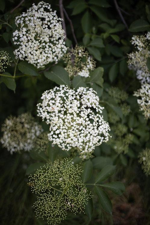 Elderflower Cordial - 500ml