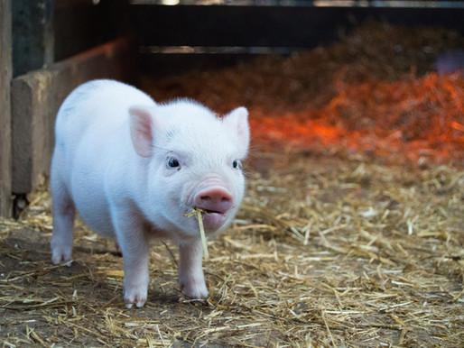 Desondanks de 'Freubel van de Hangbuikvarkens' zet de oppositie zich in achteruit
