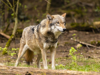 Wolfdog on the run in New Mexico after escaping from Wild Spirit Wolf Sanctuary