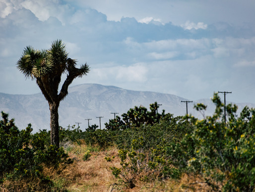 Town of Yucca Valley: New Joshua Tree Relocation and Take Ordinance