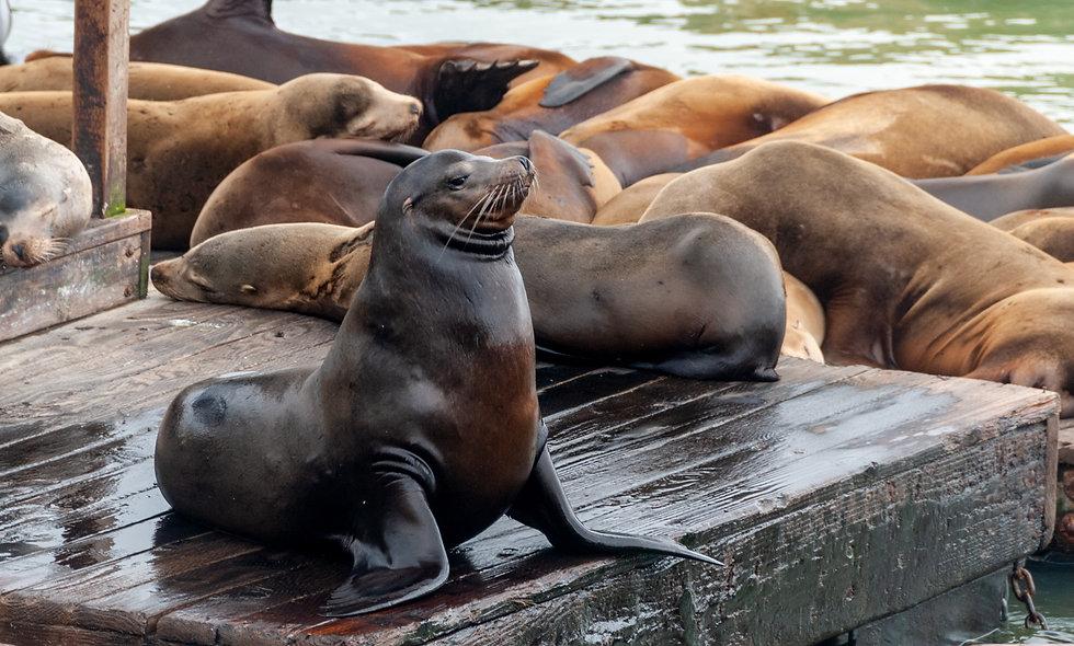 California Sea Lion Ecology