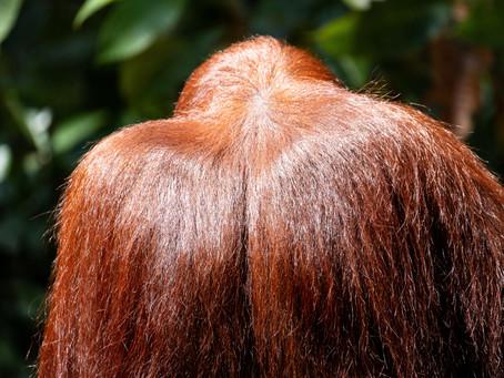 Öykü- Ahmet Tarık Tekoğul- Orangutanı Öpmek