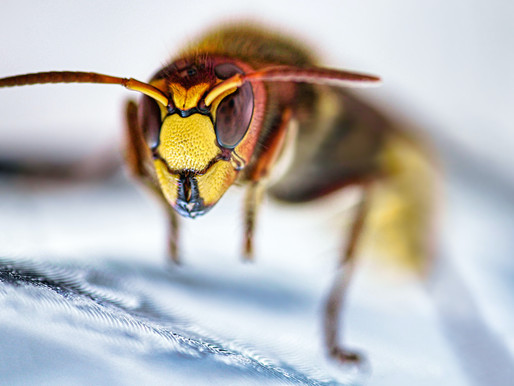 Why are Stinging Insects So Angry?