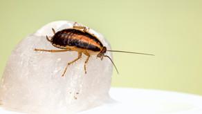6 Jenis Gangguan Yang Ditimbulkan Oleh Kecoa