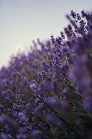 Lush-Lavender-NestedFengShui-ColorExploration